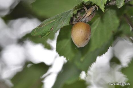 Corylus avellana - Haselnuss - Wildsträucher - Heckensträucher- Wildfrüchte - Wildsträucher - Biodiversität - Heckensträucher - Artenvielfalt - Wildstrauch