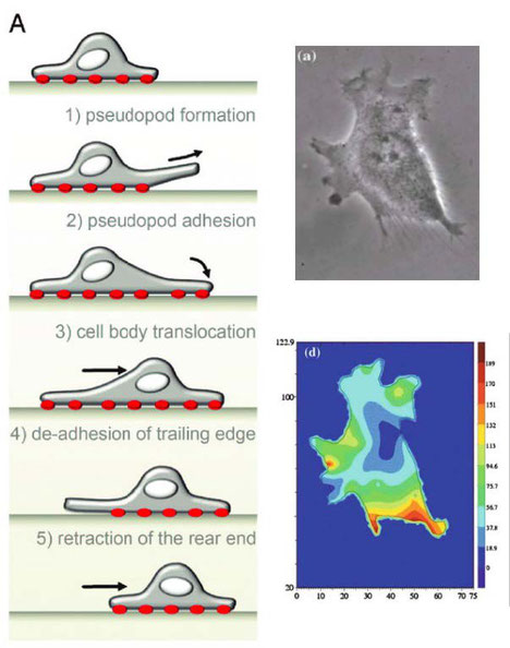 Fig.1: Cell migration mechanisms and stress map in 2D