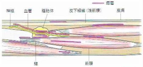 ファッシア(筋膜など)の癒着