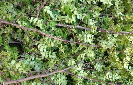 葉と花を採る前、酵素材料: 棘が沢山ある山椒の枝