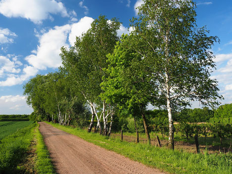 Birke, Allee, Bäume