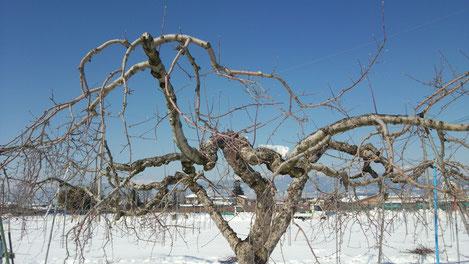 冬、凍るような寒さの中リンゴたちはじっと春を待っています