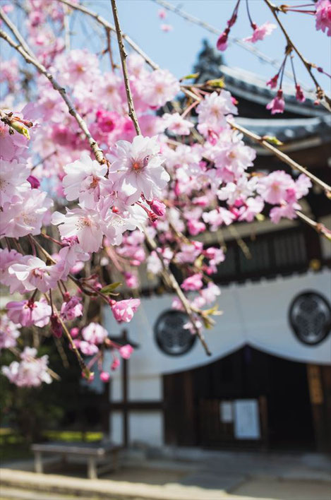 (京都桜の穴場)養源院の桜