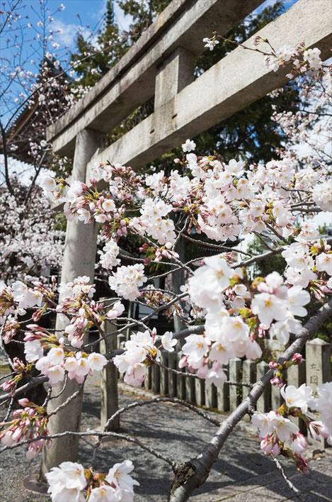 (京都桜の穴場)本法寺の鳥居と桜