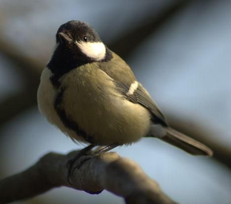 Los pájaros y el efecto Lombard