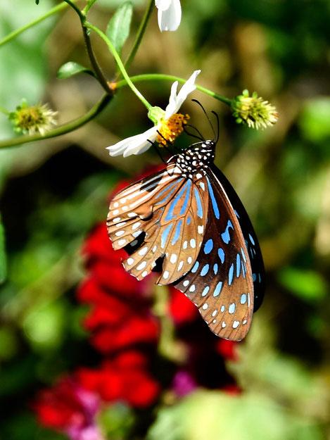 Schmetterling Chiang Mai Reise Fotograf
