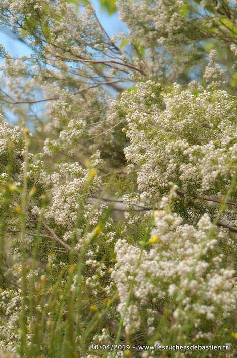 fleur de Erica arborea, Cévennes