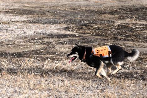 サルを見つけると一目散に走る柴犬・マロ