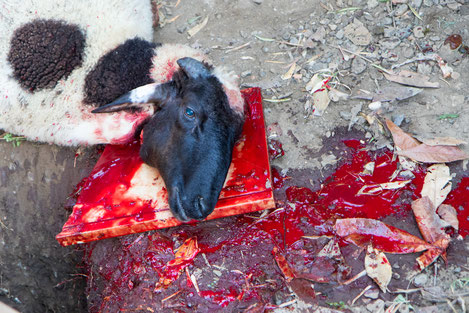 Killed sheep in it's own blood