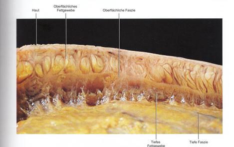 Bild: aus Atlas des menschlichen Fasziensystems