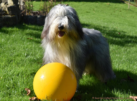 Bearded Collie Junghund