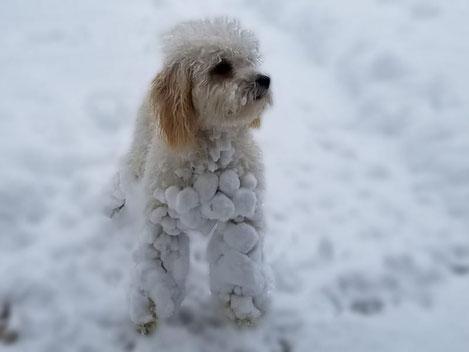 Schneebälle im Hundefell, Schnee