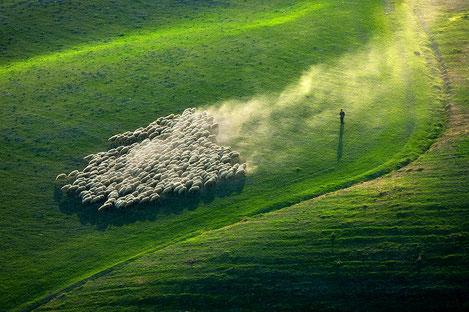 Резко вырос экспорт овец из Грузии