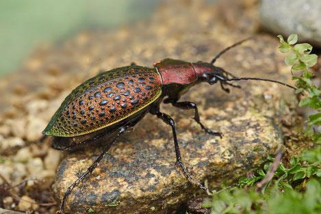 В Грузии обнаружили новый вид жука
