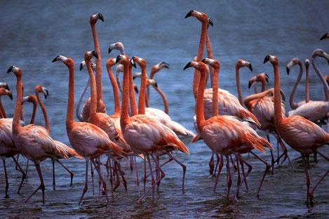 В Грузии впервые засняли Фламинго