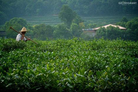 Грузия начинает реабилитацию чайных плантаций
