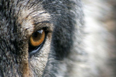 Грузин голыми руками задушил бешеного волка
