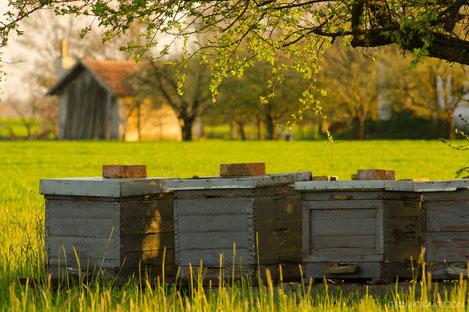 В Грузии массово гибнут медоносные пчелы