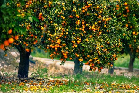 60% грузинских мандаринов закупила Россия