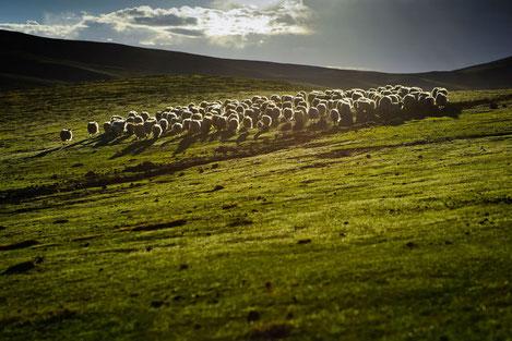 Начался экспорт овечьей шерсти из Грузии в Великобританию