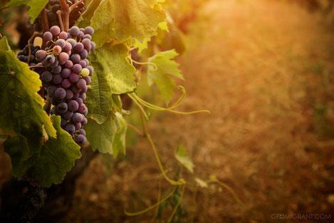 «Виноградник мира»