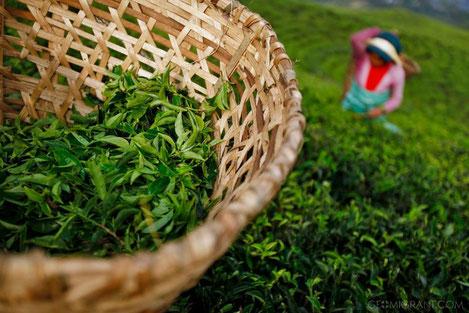 В Грузии построят завод по переработке чая