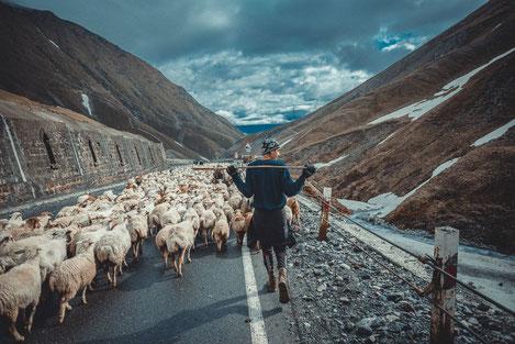 «Перегон»: Жизнь грузинских пастухов...