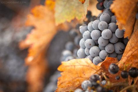 В Грузии начался производство уникального масла из виноградных косточек