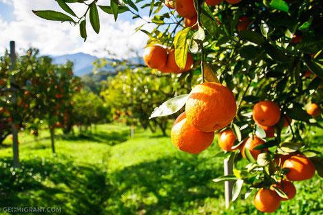 Грузия экспортировала более 20 000 тонн мандаринов