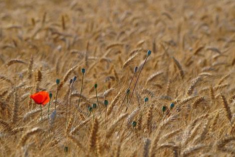 Грузия собрала рекордный урожай зерна