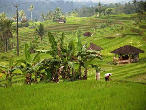 Rijstplanter in de rijstterrassen van Jatiluwih