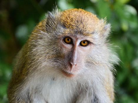 Makaak aapje op Penang in West-Maleisië