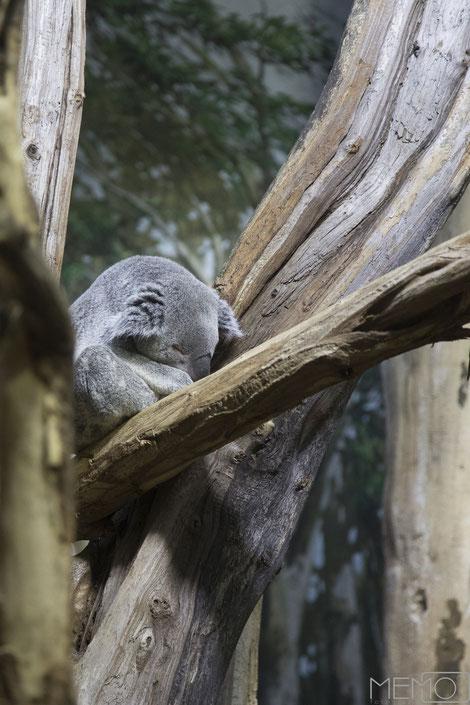 Koala, Zoo Leipzig, Leipzig, Sachsen, Gondwanaland, Deutschland, Memofotografie
