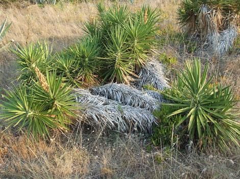 Bild Verwilderte Yucca aloifolia auf Korfu