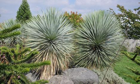 Bild Yucca rostrata ind Kultur in Niederösterreich (c) Thomas Boeuf