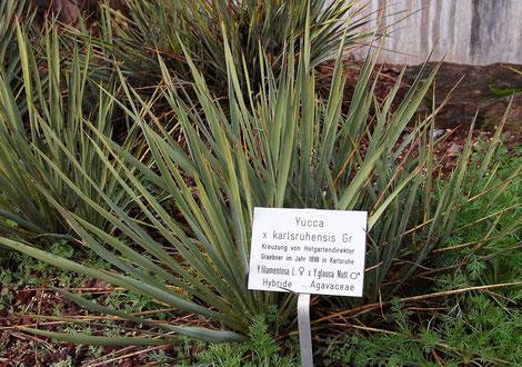 Bild Yucca xkarlsruhensis im Botanischen Garten in Karlsruhe © S. Weißbeck