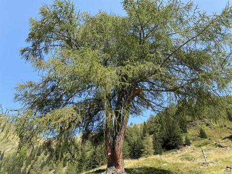 Kleines Naturwunder: Ein Baum mit drei Stämmen
