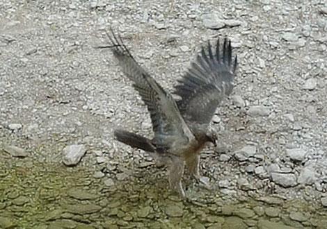 Aigle de Bonelli immature, au même endroit peu après. Notez la taille en comparaison...