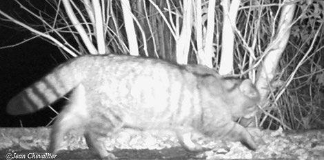 Chat forestier (ou sauvage) Felis silvestris, mâle. Photo Jean Chevallier