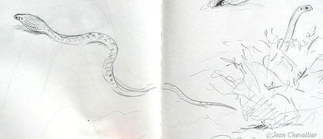 Couleuvre de Moïla, croquis Jean Chevallier