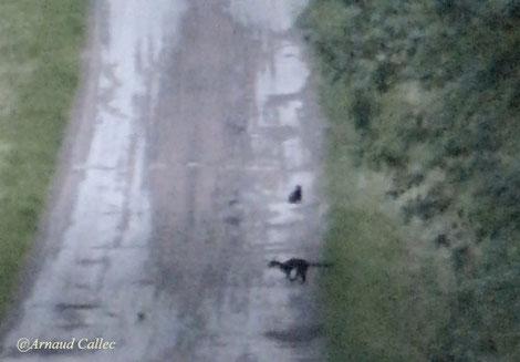 La martre passe devant le putois (extrait de vidéo Arnaud Callec)