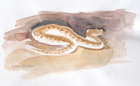 Vipère des sables Cerastes vipera, à la lampe, aquarelle Jean Chevallier