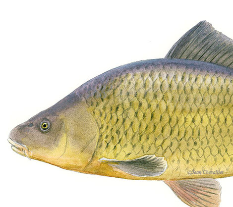 Carpe sauvage Cyprinus carpio, détail. Illustration Jean Chevallier