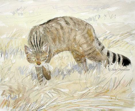 Chat sauvage Felis silvestris, femelle en été, aquarelle Jean Chevallier