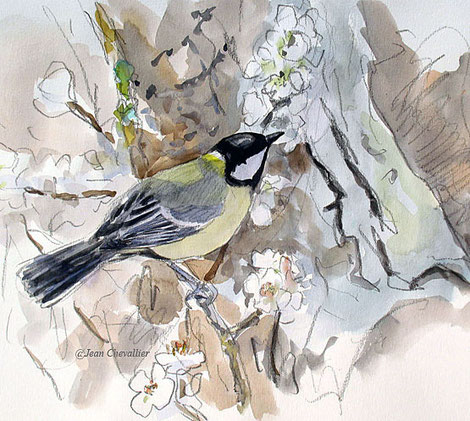 Charbonnière, Parus major, aquarelle Jean Chevallier