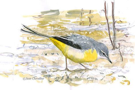 Bergeronnette des ruisseaux motacilla cinerea, aquarelle Jean Chevallier