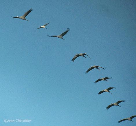 Grues et spatule en migration