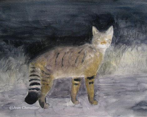 Chat sauvage (Felis sylvestris) aquarelle Jean Chevallier