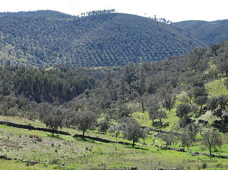 La dehesa, au premier plan, grignotée par les plantations d'eucalyptus