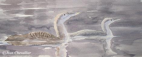 Plongeons à bec blanc et catmarin, aquarelle Jean Chevallier